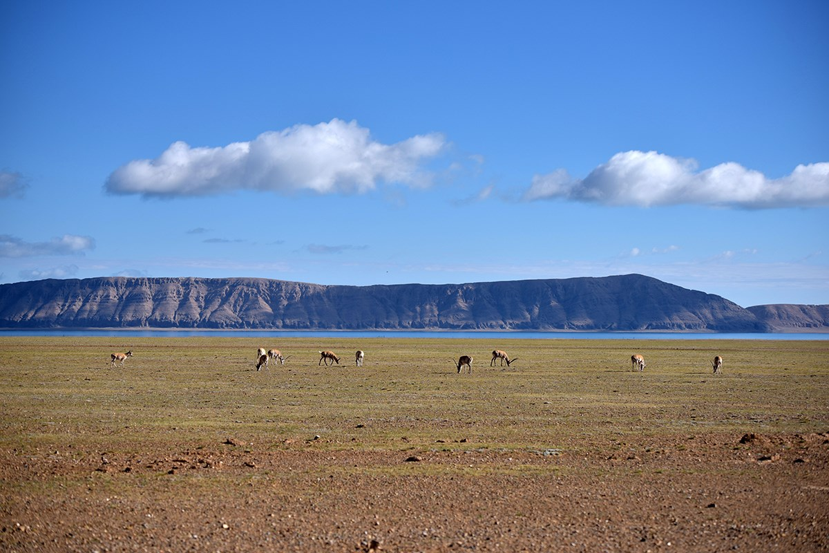 Tibetan Antelope at Serling Tso