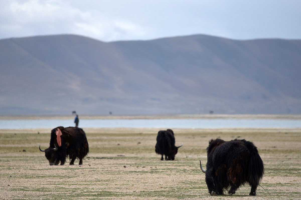 Yaks in Qiangtang
