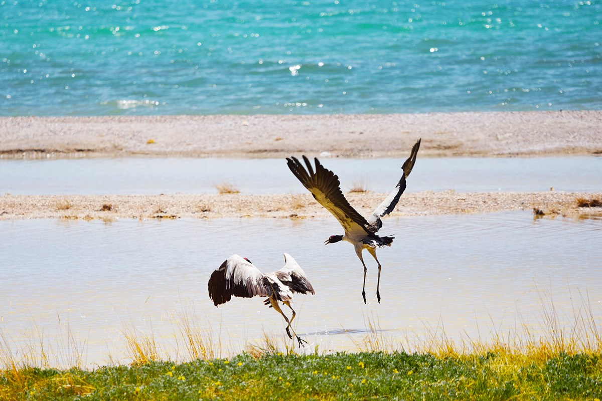 Black-necked Crane at Dangqiong Tso